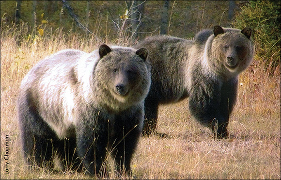 High Country Grizzly Bears